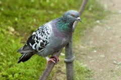 Les pigeons se reposent sur la barrière Photographie stock