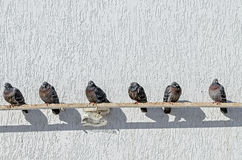 Les pigeons se reposent sur un tuyau près d'un mur blanc dans un jour ensoleillé Images stock