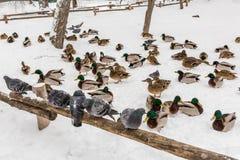 Les pigeons se reposent sur une barrière en bois en parc de ville Jour d'hiver, neige À l'arrière-plan est le canard de Mallard Image stock