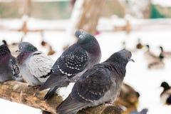 Les pigeons se reposent sur une barrière en bois en parc de ville Jour d'hiver, neige À l'arrière-plan est le canard de Mallard Photo libre de droits