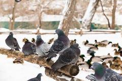 Les pigeons se reposent sur une barrière en bois en parc de ville Jour d'hiver, neige À l'arrière-plan est le canard de Mallard Photographie stock libre de droits