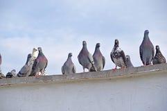 Les pigeons se tient sur un mur Photographie stock libre de droits