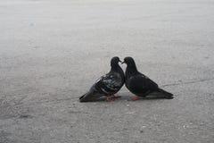 Les pigeons sur la rue Photographie stock libre de droits