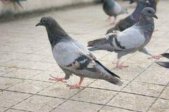 Les pigeons sur le mur en parc Photographie stock