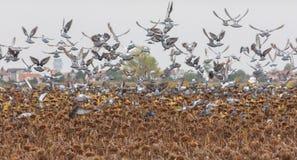 Les pigeons volent Photo stock