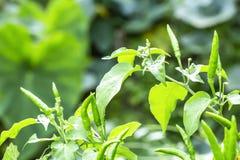Les piments mûrs verts à l'usine font du jardinage avec la lumière du soleil Image libre de droits