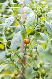 Les piments mûrs verts à l'usine font du jardinage avec la lumière du soleil Photographie stock