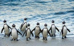 Les pingouins africains marchent hors de l'océan sur la plage sablonneuse Images libres de droits