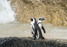 Les pingouins africains s'approchent de l'océan image libre de droits
