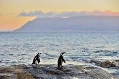 Les pingouins africains sur le rivage au twiligh de soirée, ciel rouge de coucher du soleil Photographie stock