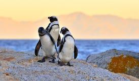 Les pingouins africains sur le rivage au twiligh de soirée, ciel rouge de coucher du soleil Photographie stock libre de droits