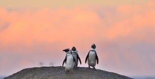 Les pingouins africains sur le rocher dans le coucher du soleil allument le ciel Image libre de droits