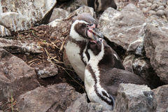 Les pingouins de Humboldt combattent dans un zoo dans les Frances Images libres de droits