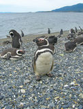 Les pingouins de Magellan s'approchent d'Ushuaia Photo libre de droits