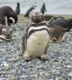 Les pingouins de Magellan s'approchent d'Ushuaia Photographie stock libre de droits