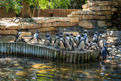 Les pingouins noirs et blancs à la banque d'un lac s'accumulent Photographie stock libre de droits