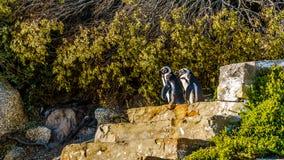 Les pingouins regardant pour s'attaquer en bas des escaliers aux rochers échouent Image stock