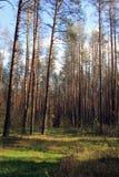 Les pins directs de forêt de vert de taille se tiennent sur le bord des avants de pin Image libre de droits