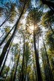 Les pins quand lumière du jour Images libres de droits