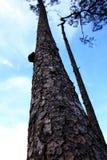 Les pins sont hauts en nature photo stock