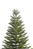 Les pins tropicaux est un genre d'arbre conifére dans la famille Arauc Photo libre de droits