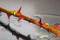 Les piquants de Rose sous la pluie Photo libre de droits