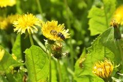 Les pissenlits et l'abeille sur des champs de te Images stock