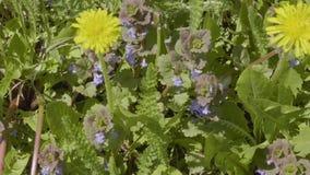 Les pissenlits jaunes et le champ de pollination d'abeille fleurit sur le pré vert banque de vidéos