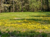 Les pissenlits jaunes fleurissent dans un pré image stock
