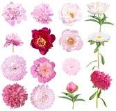 Les pivoines et les asters ont placé des fleurs d'isolement sur le fond blanc Asters roses et blancs de pivoines, roses et blancs photos libres de droits