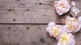 Les pivoines roses fraîches fleurit sur le fond en bois âgé Image stock