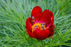 Les pivoines rouges fleurissent dans la réservation de steppe chez Zau de Campie, comté de Mures, la Transylvanie, Roumanie Images stock