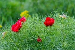Les pivoines rouges fleurissent dans la réservation de steppe chez Zau de Campie, comté de Mures, la Transylvanie, Roumanie Photographie stock libre de droits