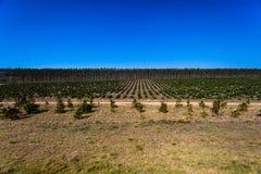 Les plantations d'arbres jeunes mûrissent   photos libres de droits