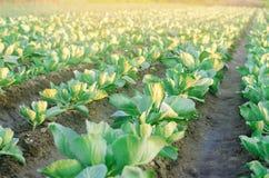 Les plantations de chou se développent dans le domaine rangées végétales Agriculture, agriculture Paysage avec la terre agricole  photo libre de droits