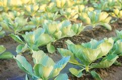Les plantations de chou se développent dans le domaine rangées végétales Agriculture, agriculture Paysage avec la terre agricole  photos libres de droits