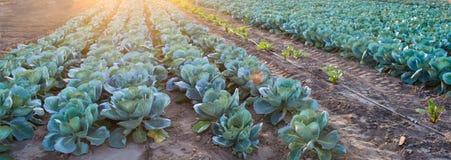 Les plantations de chou se développent dans le domaine rangées végétales Agriculture, agriculture Paysage avec la terre agricole  photo stock
