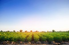 Les plantations de pomme de terre se développent dans le domaine rangées végétales Agriculture, agriculture Paysage avec la terre images libres de droits