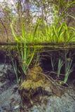 Les plantes aquatiques émergent - les ressorts bleus de trou Images libres de droits