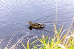Les platyrhynchos d'ana de canard flotte sur un étang de ville Images libres de droits