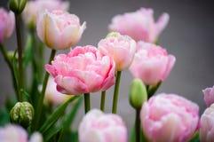 Les pleines tulipes de floraison roses se ferment et des bourgeons Images libres de droits