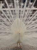 Les plumes d'un paon Photo stock