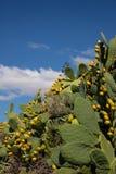 Les poires de piquant se ferment sur un fond de ciel bleu photographie stock libre de droits