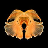 Les poissons abstraits de beaux-arts coupent la queue la forme gratuite de poissons de Betta Photo libre de droits