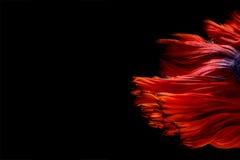 Les poissons abstraits de beaux-arts coupent la queue la forme gratuite de poissons de Betta ou de f siamois Image libre de droits