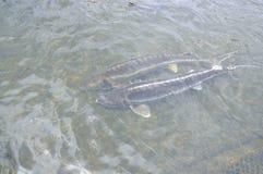 Les poissons agricoles d'esturgeon dans la culture de cage dans Tuyen frappent le lac Plusieurs espèces des esturgeons sont moiss Photographie stock
