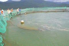 Les poissons agricoles d'esturgeon dans la culture de cage dans Tuyen frappent le lac Plusieurs espèces des esturgeons sont moiss Photos stock