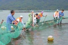 Les poissons agricoles d'esturgeon dans la culture de cage dans Tuyen frappent le lac Plusieurs espèces des esturgeons sont moiss Image stock