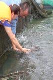 Les poissons agricoles d'esturgeon dans la culture de cage dans Tuyen frappent le lac Plusieurs espèces des esturgeons sont moiss Images stock