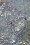 Les poissons agricoles d'esturgeon dans la culture de cage dans Tuyen frappent le lac Plusieurs espèces des esturgeons sont moiss Images libres de droits